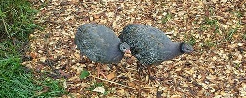 twoguineas